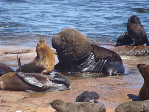 Leones-y-osos-marinos