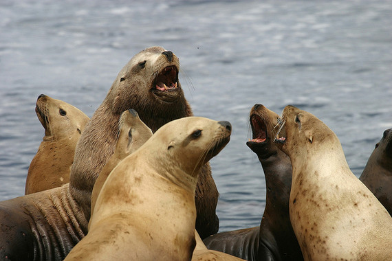 Los-vinculos-familiares-que-crean-las-hembras-de-leon-marino-de-Steller_image_380