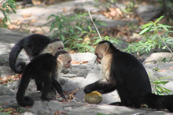 monos-capuchinos