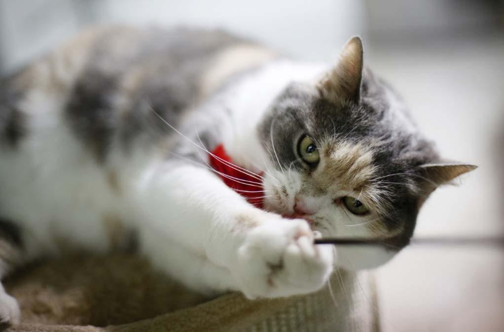 curiosidades-gato