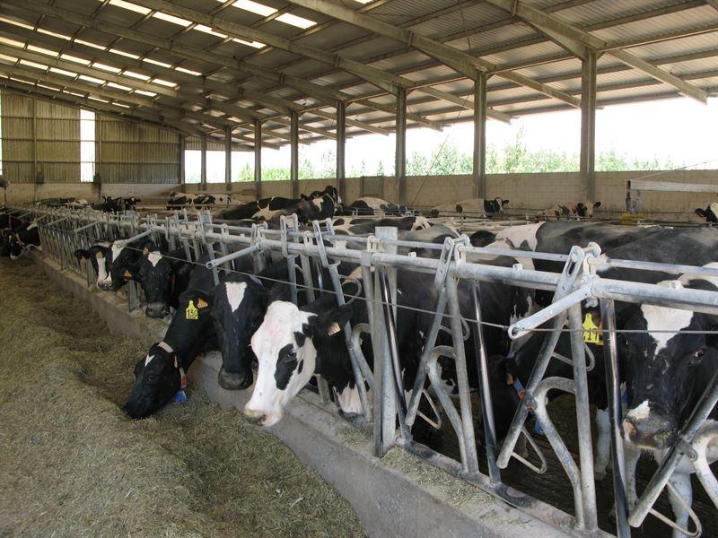 vacas-asturias