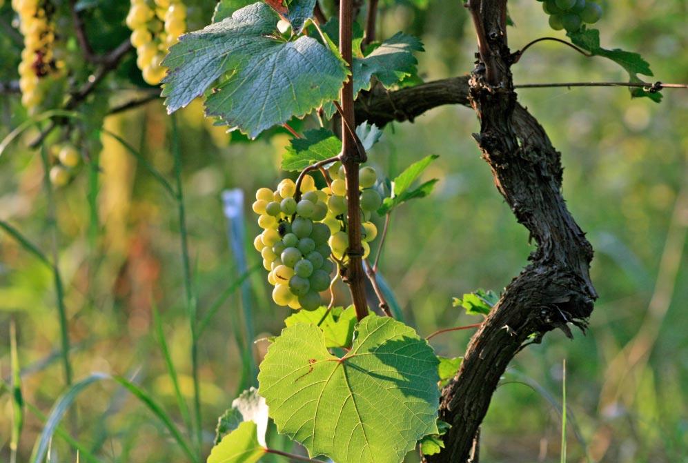 Los vinos blancos más populares en Georgia se elaboran con uvas Rkatsiteli o Tsolikouri. Foto: Katrin Tevdorashvili/Georgia Insight/dpa