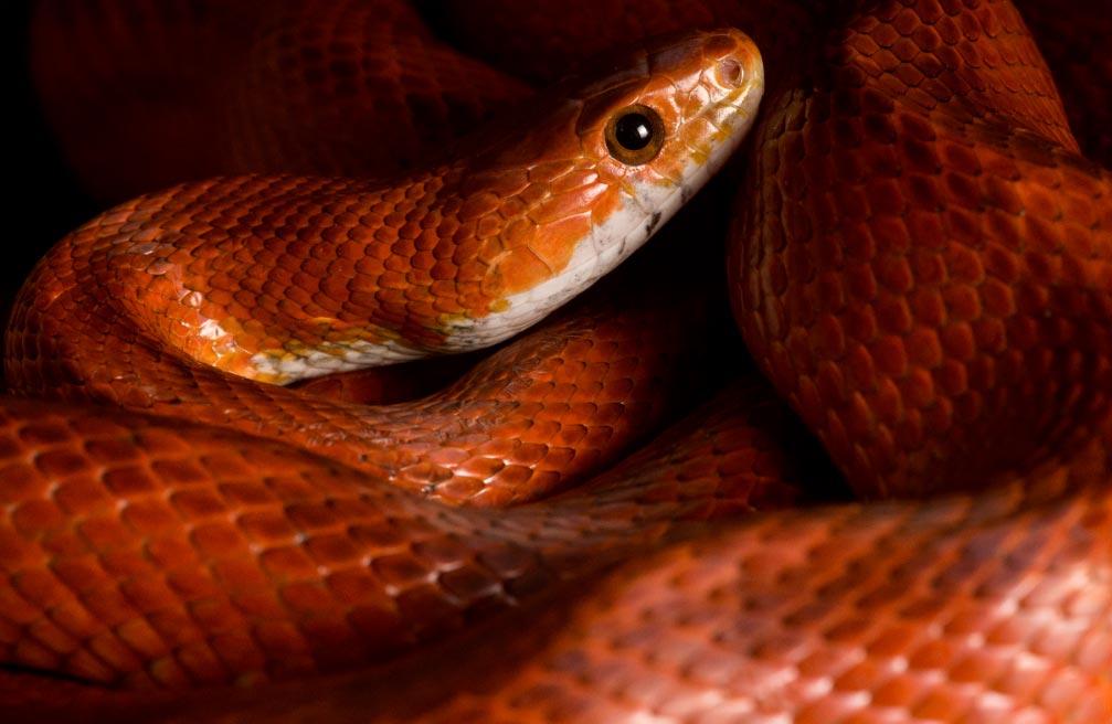 serpiente-del-maiz-dpa