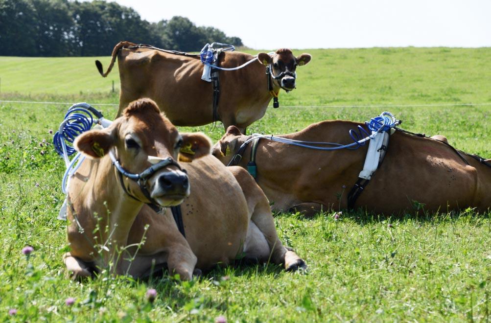 Investigadores de la Universidad de Kiel quieren reducir la producción de metano de las vacas utilizando una mezcla de hierbas para alimentarlas. Foto: Carsten Rehder/dpa
