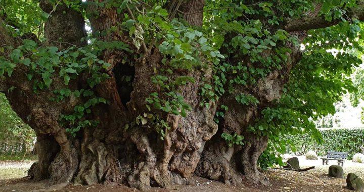 """Centenario tilo de hoja ancha distinguido como """"primer árbol del patrimonio alemán"""". Foto: Andreas Roloff/TU Dresden/dpa"""