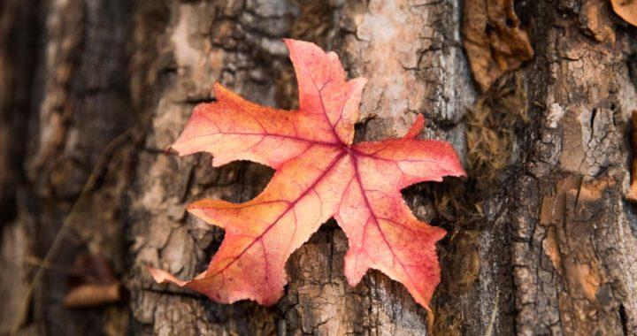 Cuando los días se acortan, las hojas van cambiando de color. Foto: Frank Rumpenhorst/dpa-tmn
