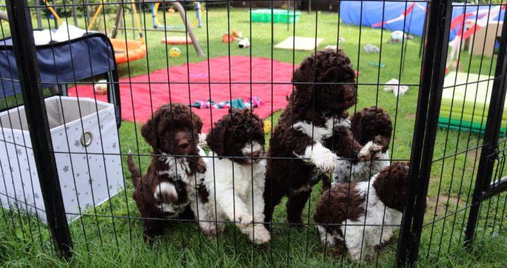 Estos cachorritos Lagotto-Romagnolo tienen seis semanas y juegan en el parque de Margit Kunzelmann. Foto: Fabian Busch/dpa-tmn