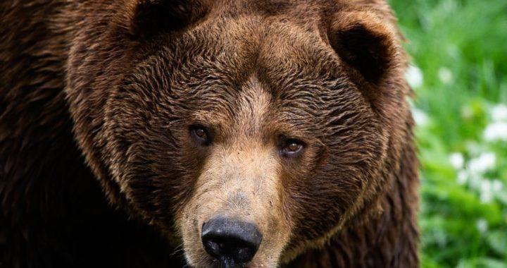 El oso pardo es uno de los animales registrados por el censo de la Fundación Europea de Mamíferos (EMF). Foto: Felix Heyder/dpa