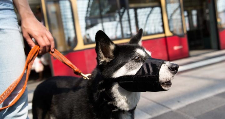 Este perro circula con bozal por Berlín porque cuando se suben a un tren es obligatorio. Foto: Florian Schuh/dpa-tmn