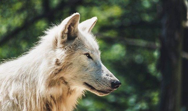 wolf-4334874_640