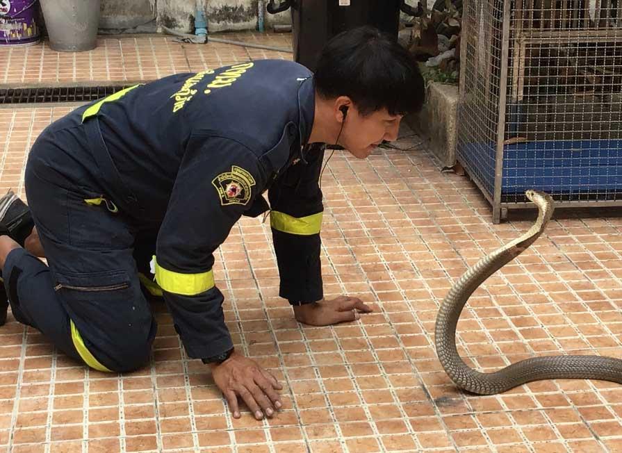 Pinyo Pukpinyo, cazador de serpientes del departamento de bomberos de Bangkok, observa una cobra. Foto: Caroline Bock/dpa