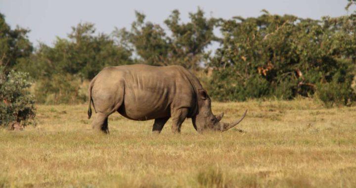 Un rinoceronte en la reserva natural privada de Welgevonden en la provincia de Limpopo, Sudáfrica. Foto: dpa