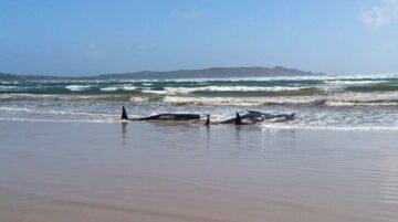 Ballenas piloto varadas en Tasmania