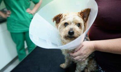 heridas cortantes en las patas de los perros