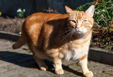 gato sobrepeso