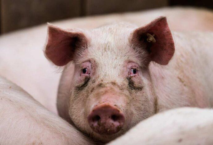 cerdos con peste porcina