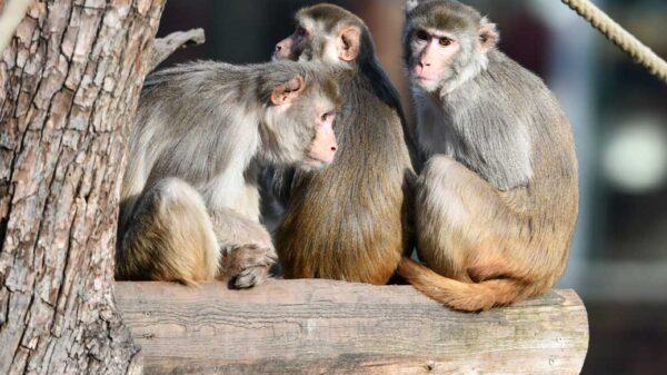 monos de laboratorio